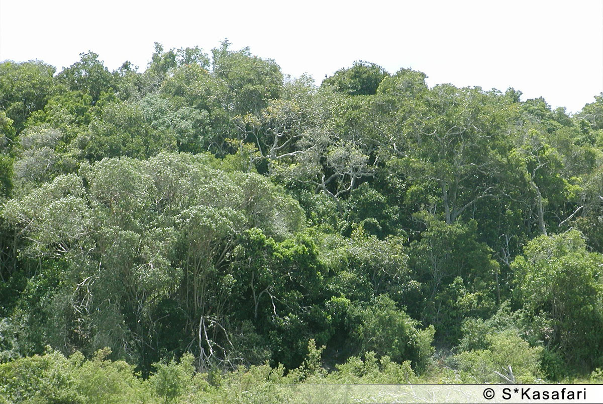 Utsikt över Arabuko Sokokeskogen